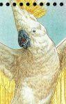 Celý zobák šedý - smutný papušek