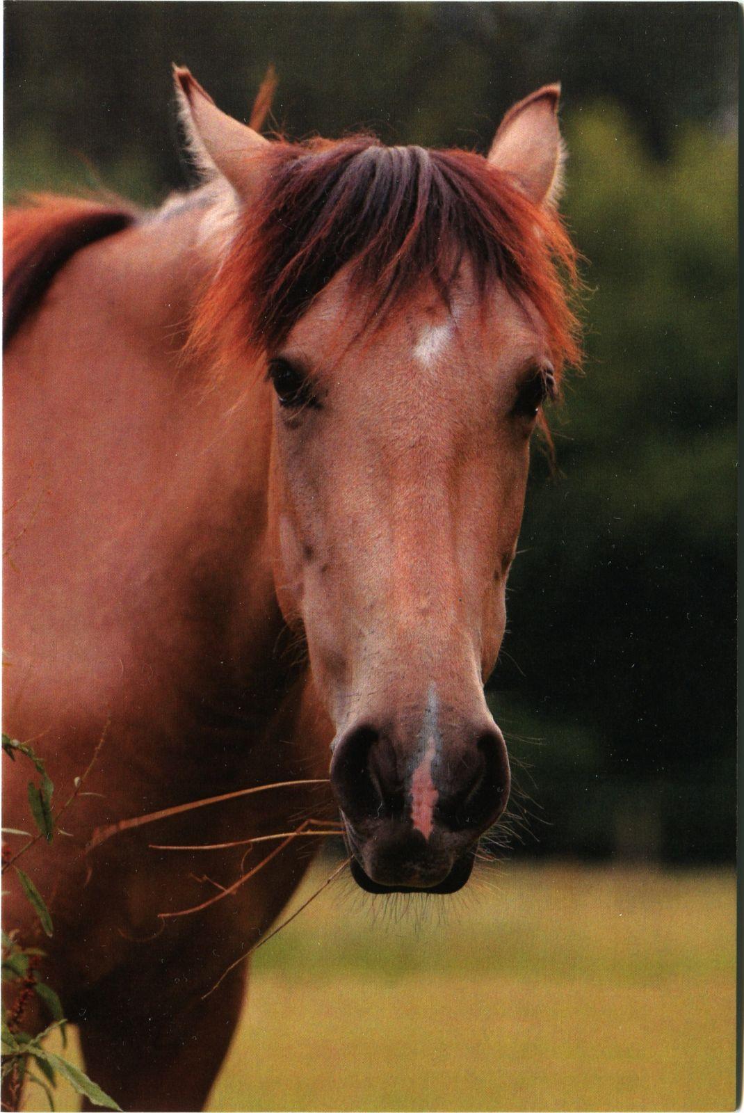 Pohlednice Ponynka.cz - série koně - hnědák hlava (1/2018)